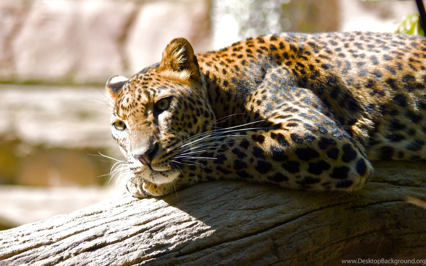 Jaguar animal hd wallpapers desktop background - Jaguar animal hd wallpapers ...
