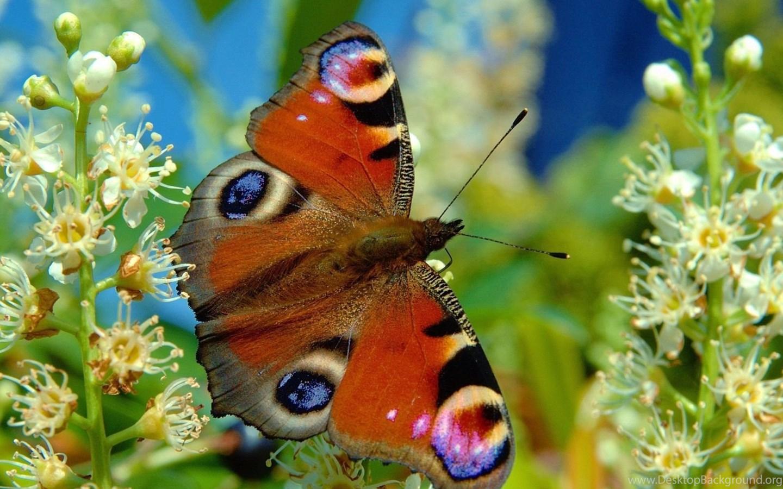 Real Butterflies Desktop Backgrounds Desktop Background