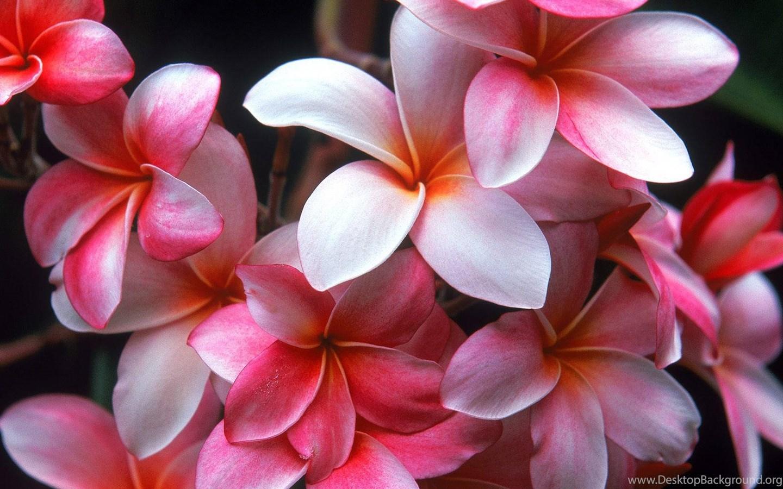 Hawaiian Flowers Images All Wallpapers New Desktop Background