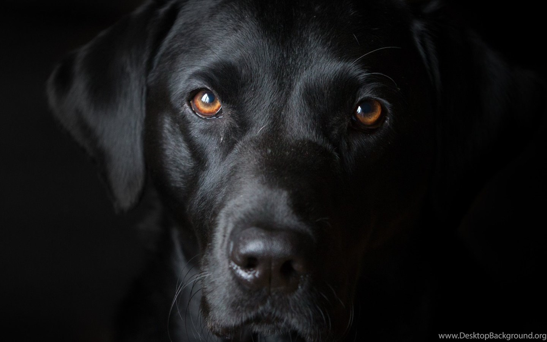 Black Dog Wallpapers Desktop Background