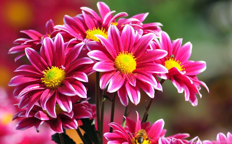 Beautiful Flowers Wallpapers Free Download Desktop Background