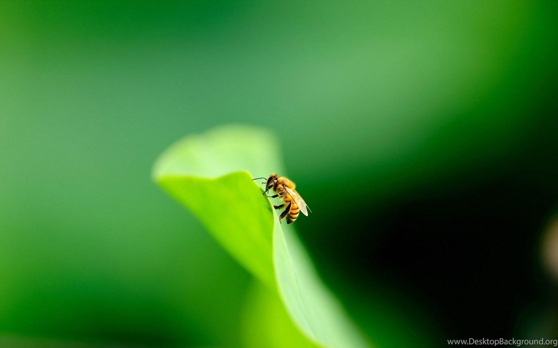 Bee wallpaper desktop
