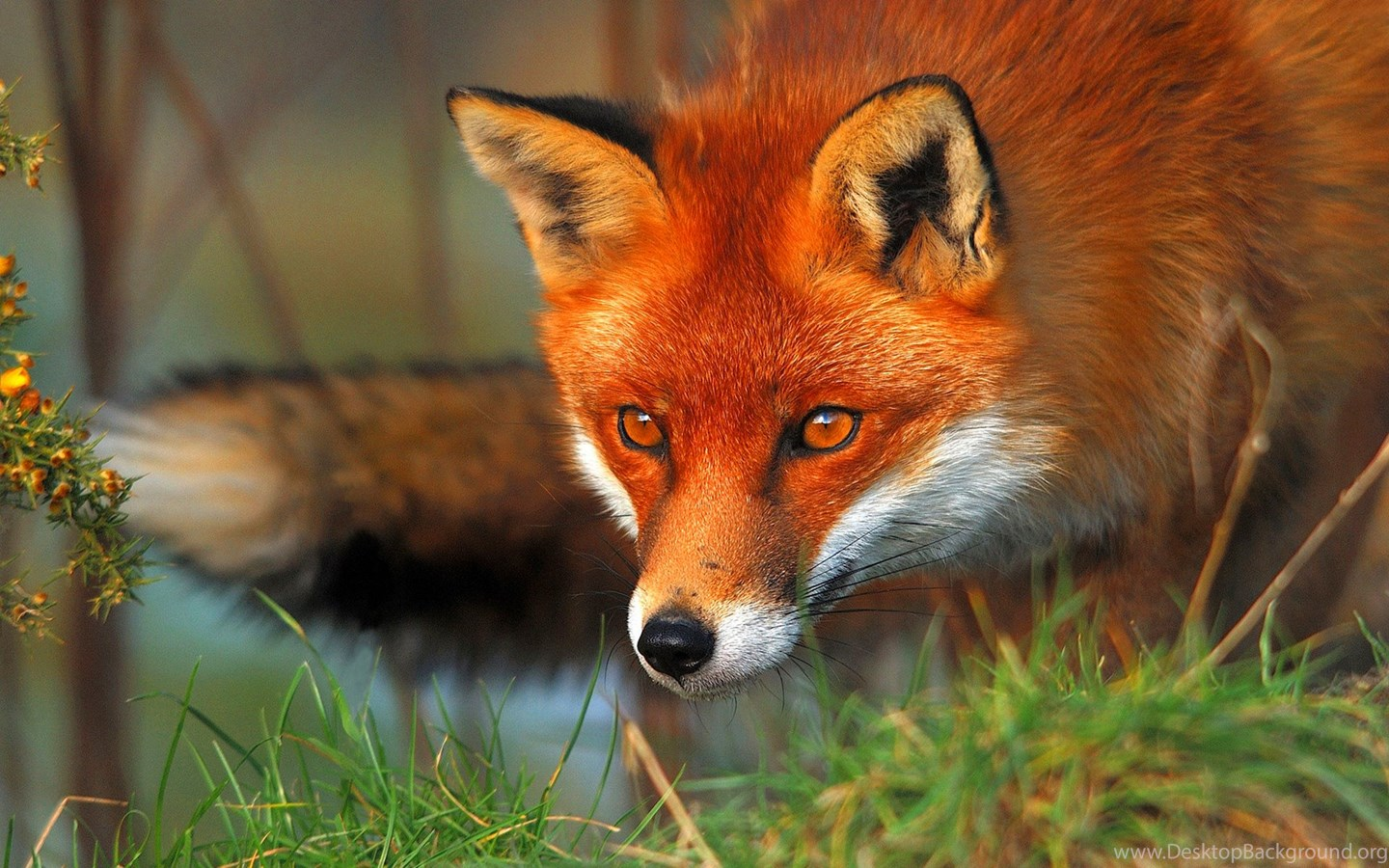 Red fox wallpapers high definition animal wallpapers - Fox desktop background ...