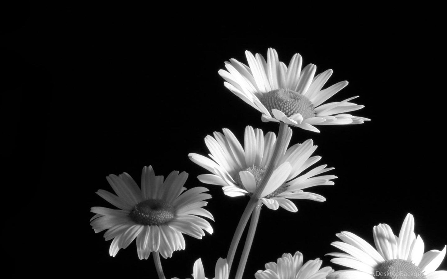 Black And White Flower Wallpapers » WallDevil Best Free HD ...