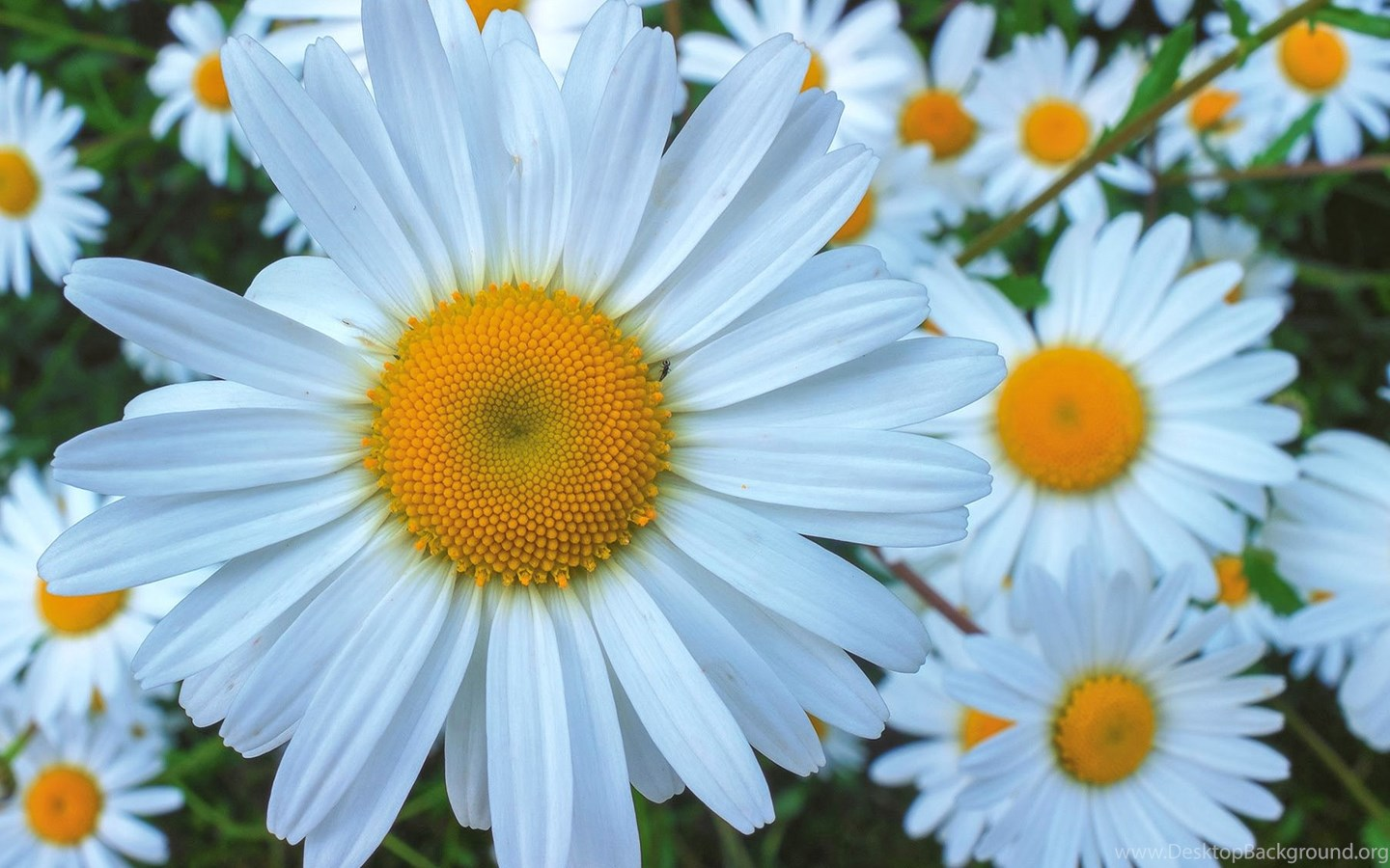 White Daisy Flowers Flower Wallpapers Nature Images Plants
