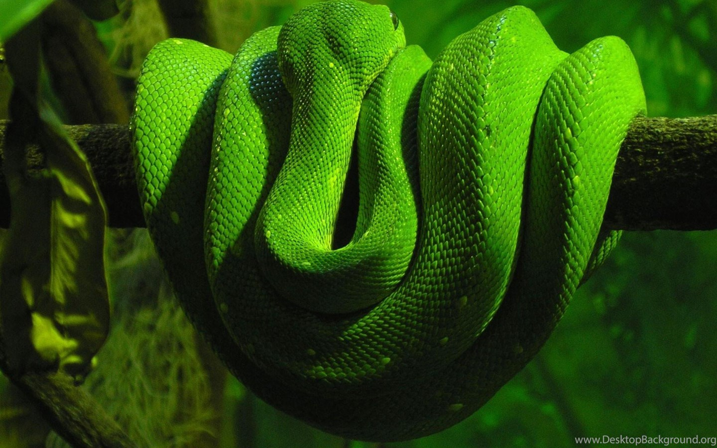 Animals green snake on a branch snake hd wallpapers - Green snake hd wallpaper ...
