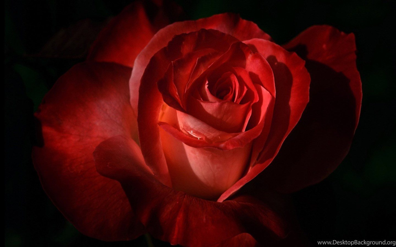 All New Wallpapers : Gambar Bunga Mawar Merah Cantik (11