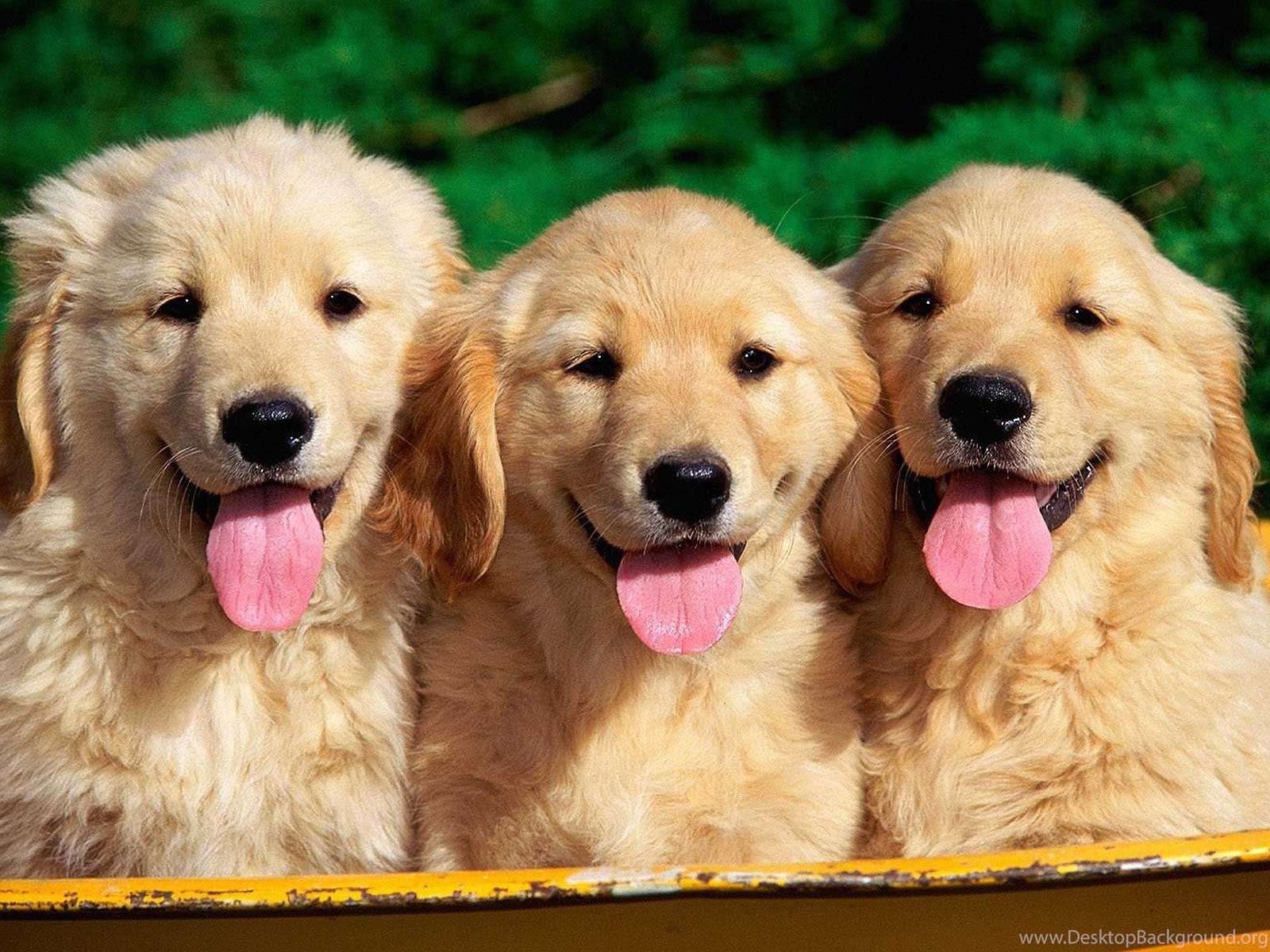 10 free golden retriever puppies hd wallpapers desktop