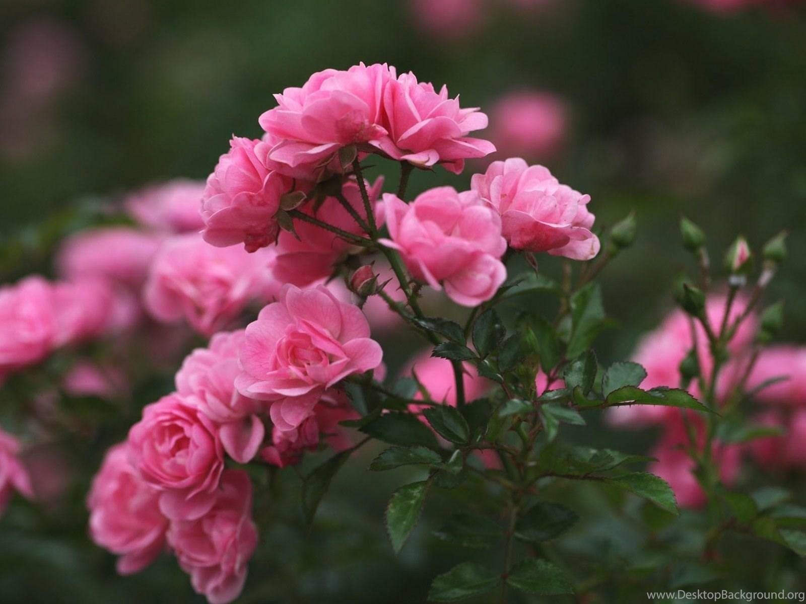 Roses pink flowers wallpapers free download of pink roses desktop fullscreen mightylinksfo