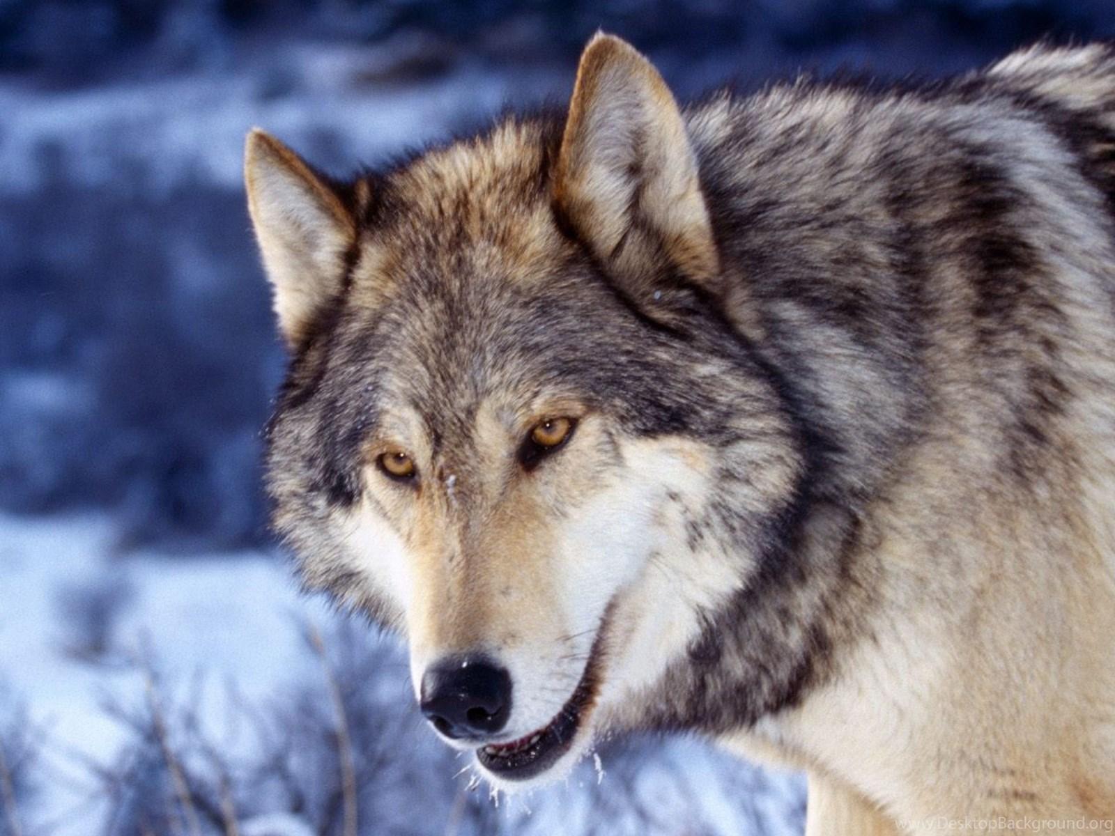 Page 10: 4K Ultra HD Wolf Wallpapers HD, Desktop