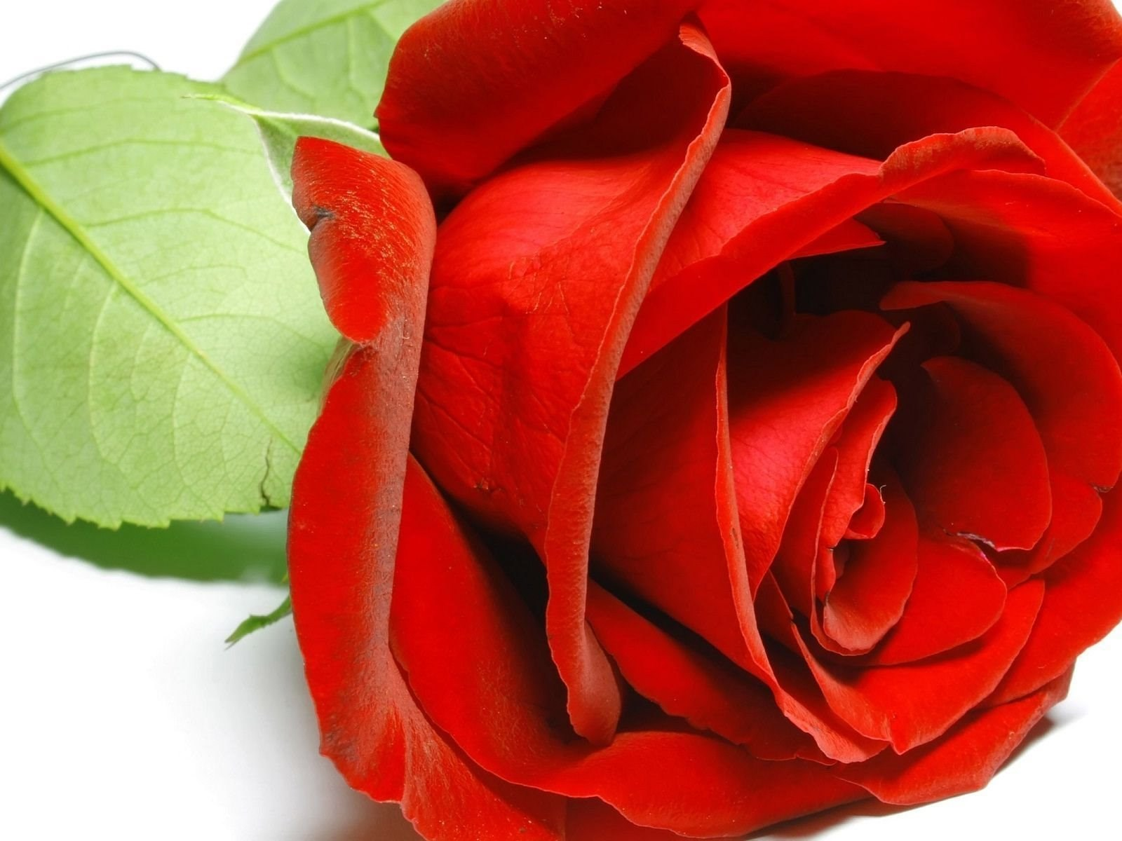 Red Rose Flower Full Hd Wallpapers New Hd Wallpapernew Hd Wallpapers
