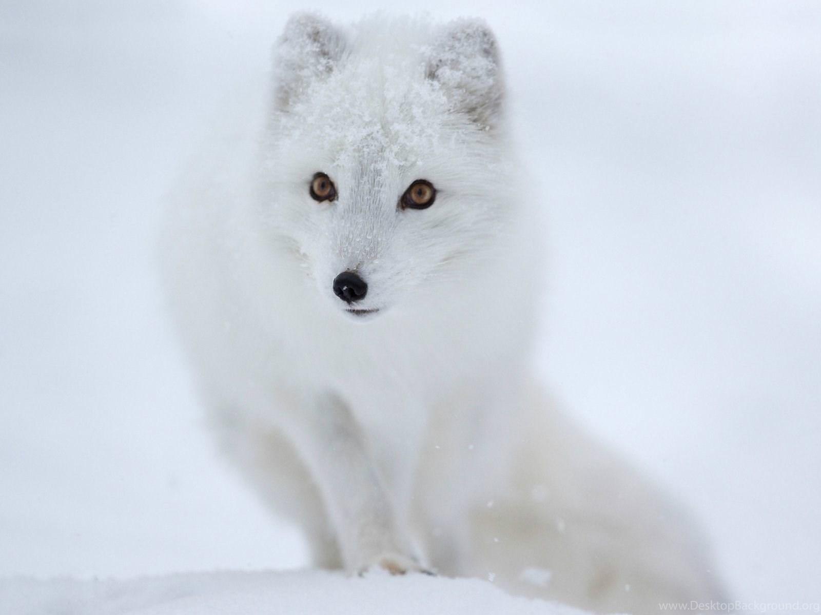 Arctic Fox In The Snow Wallpapers 28289 Desktop Background