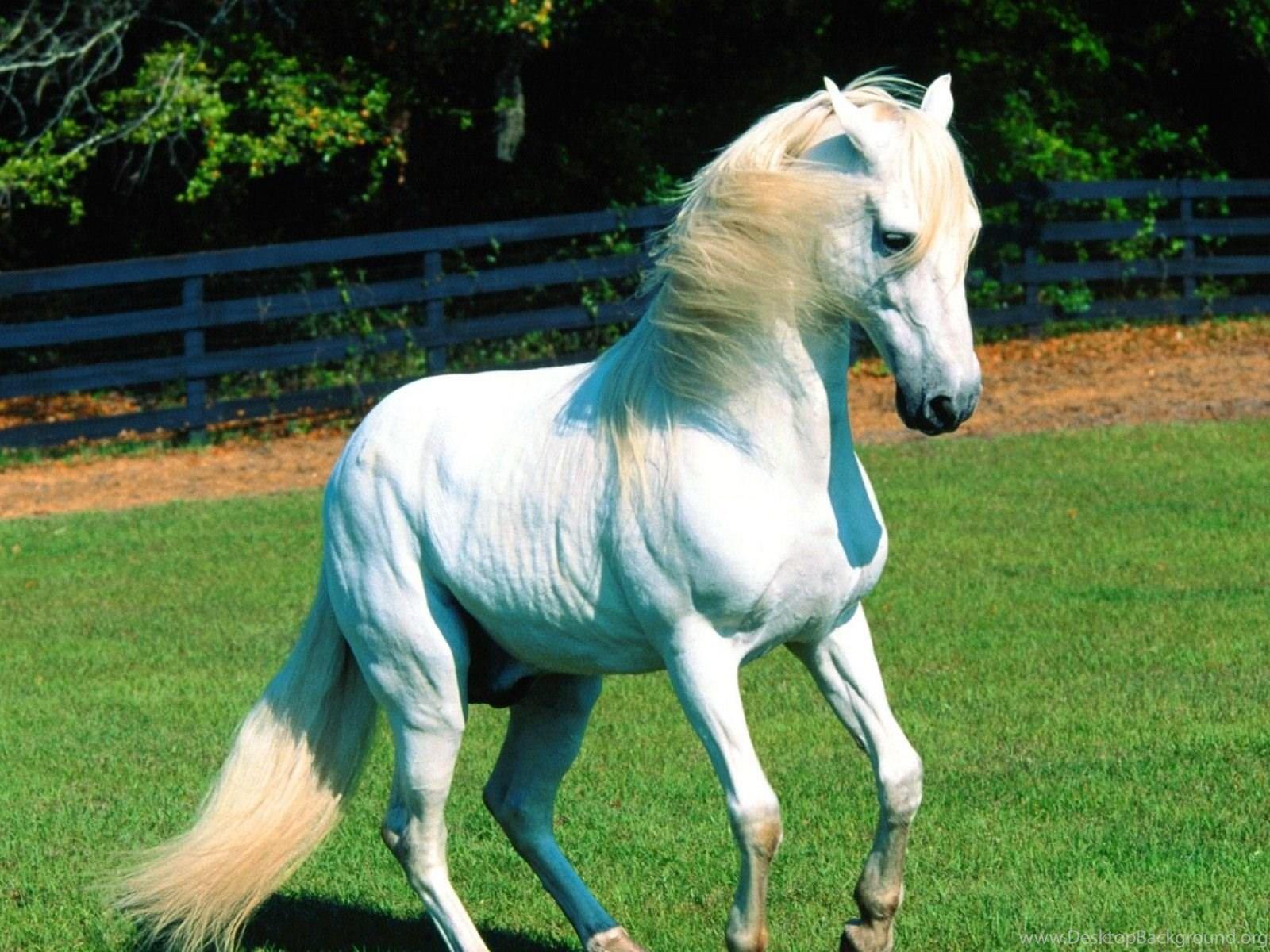 Beautiful White And Black Horse Wallpaper Desktop Background