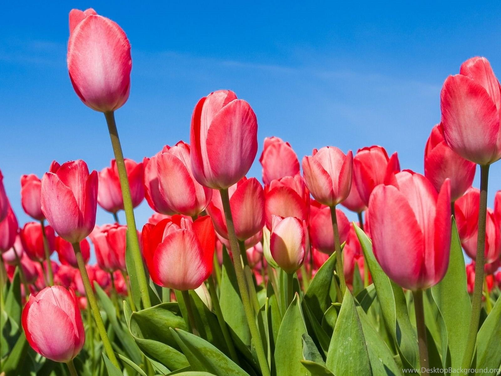 продукцию, тюльпаны фото для телефона для болгарки