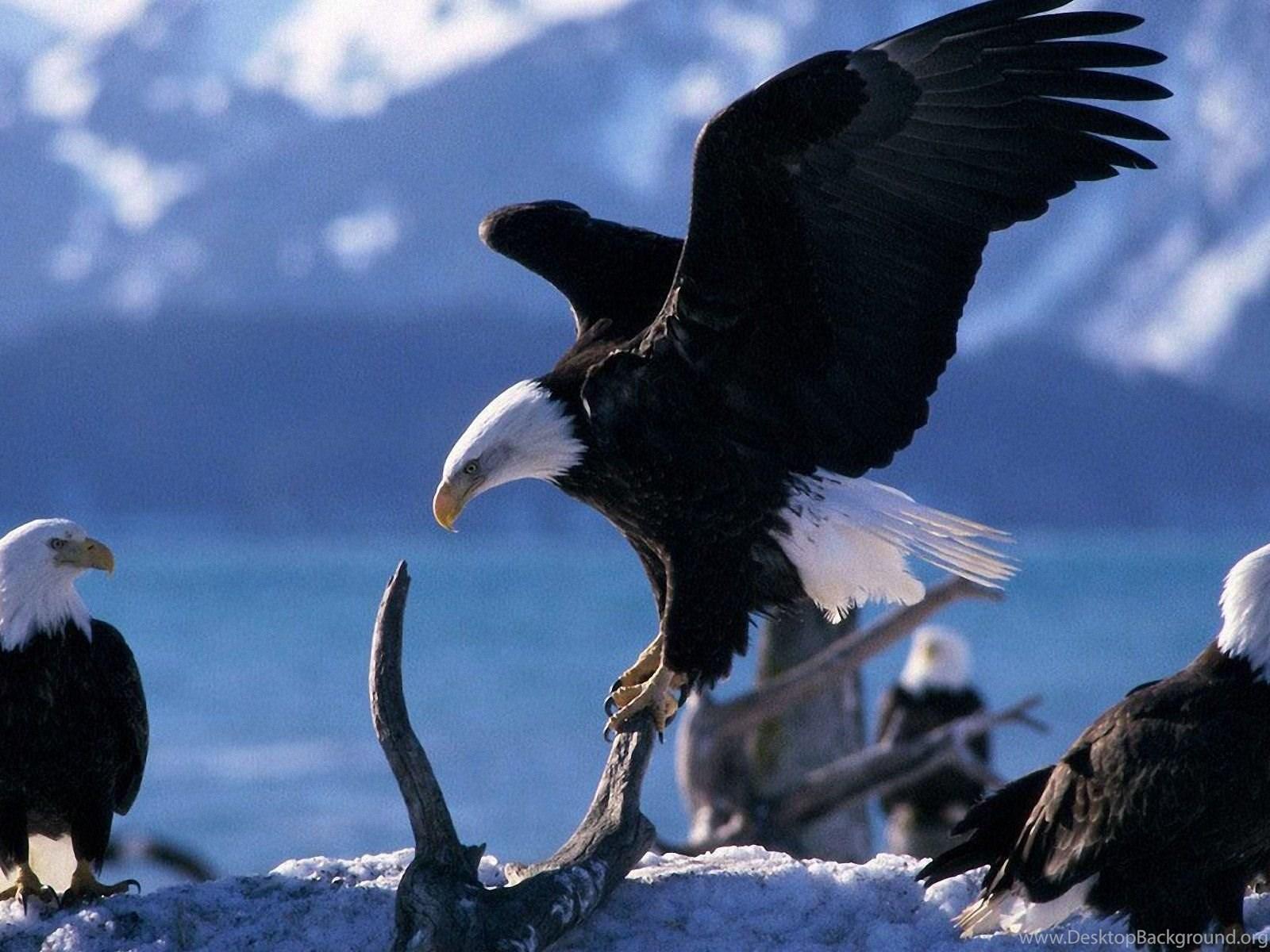 American Bald Eagles Wallpapers Animal Wallpapers Desktop