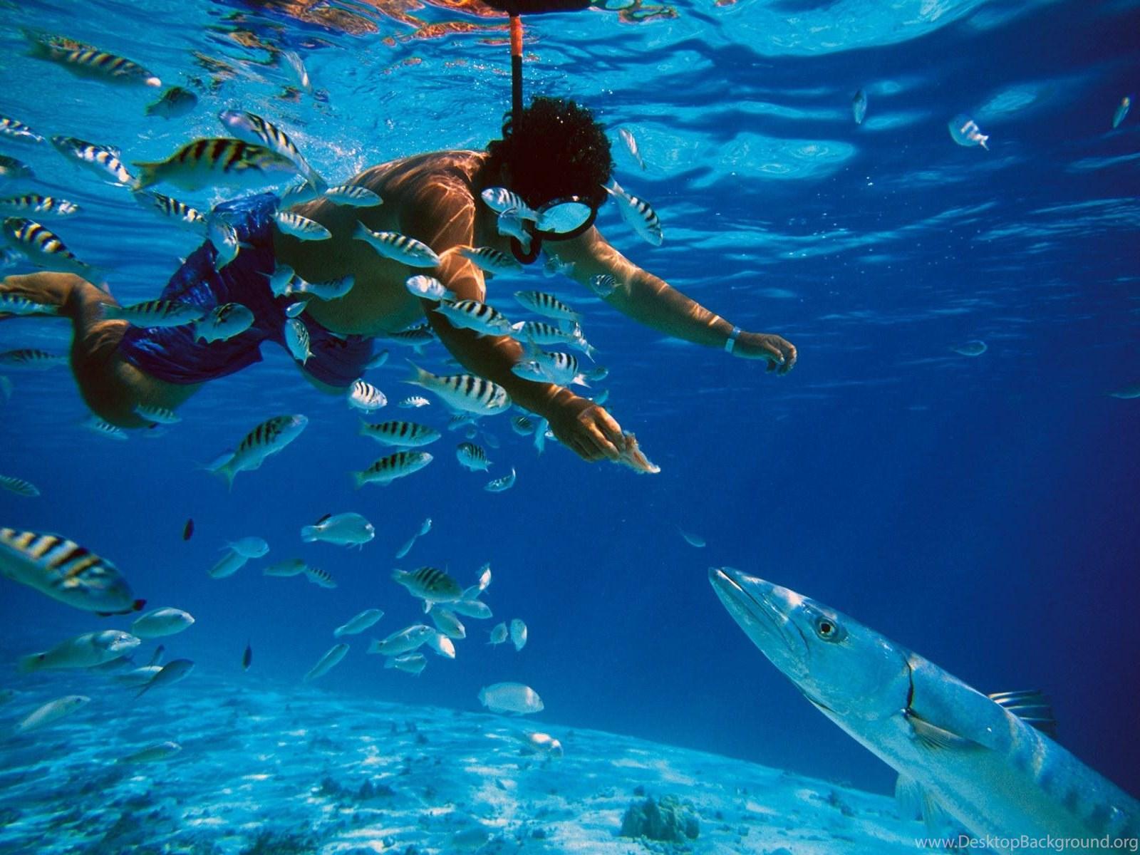 Snorkeling And Feeding Barracuda Fish In Tahiti Wallpaper