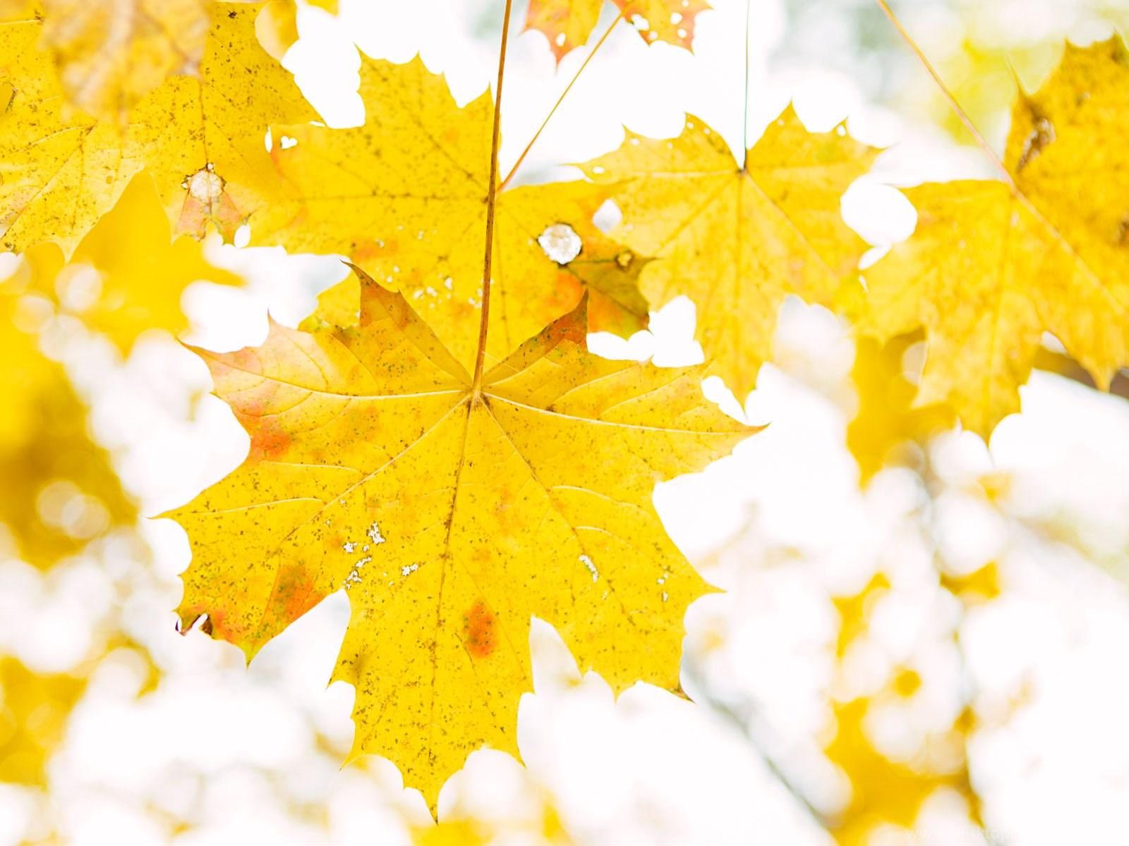 что картинки листья желтые общем