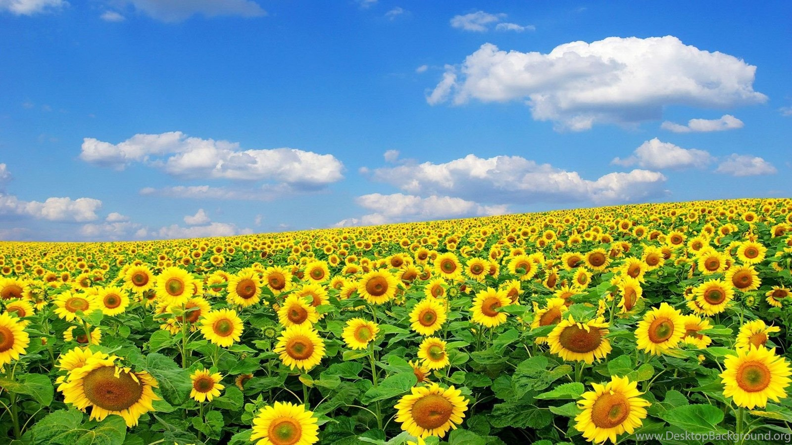 Get Fall Sunflower Desktop Background JPG