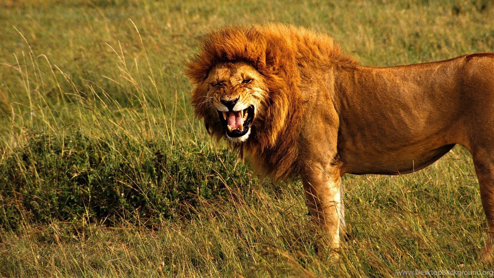 794 lion hd wallpapers desktop background