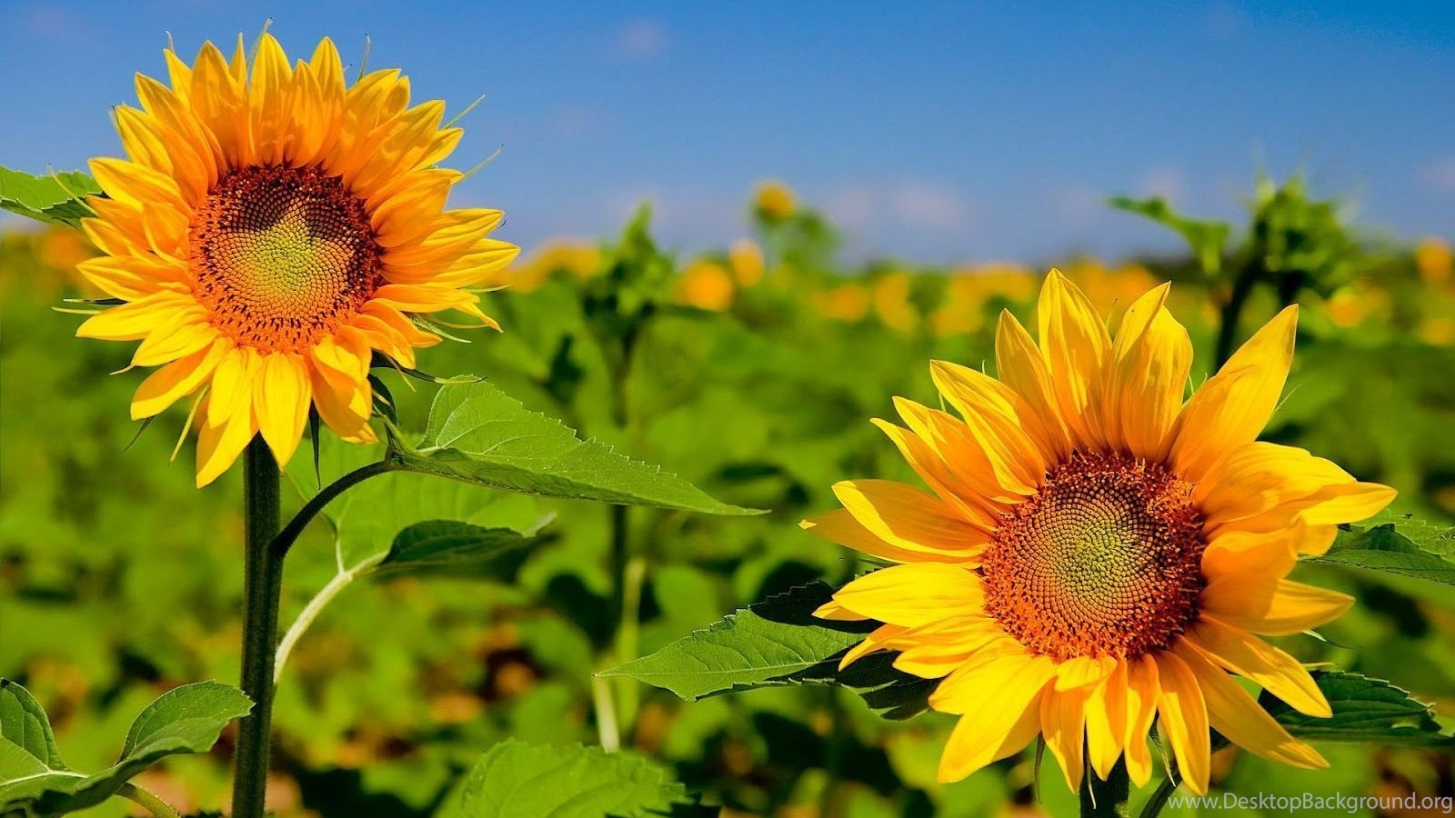 hd best desktop wallpapers: sunflower wallpapers desktop background