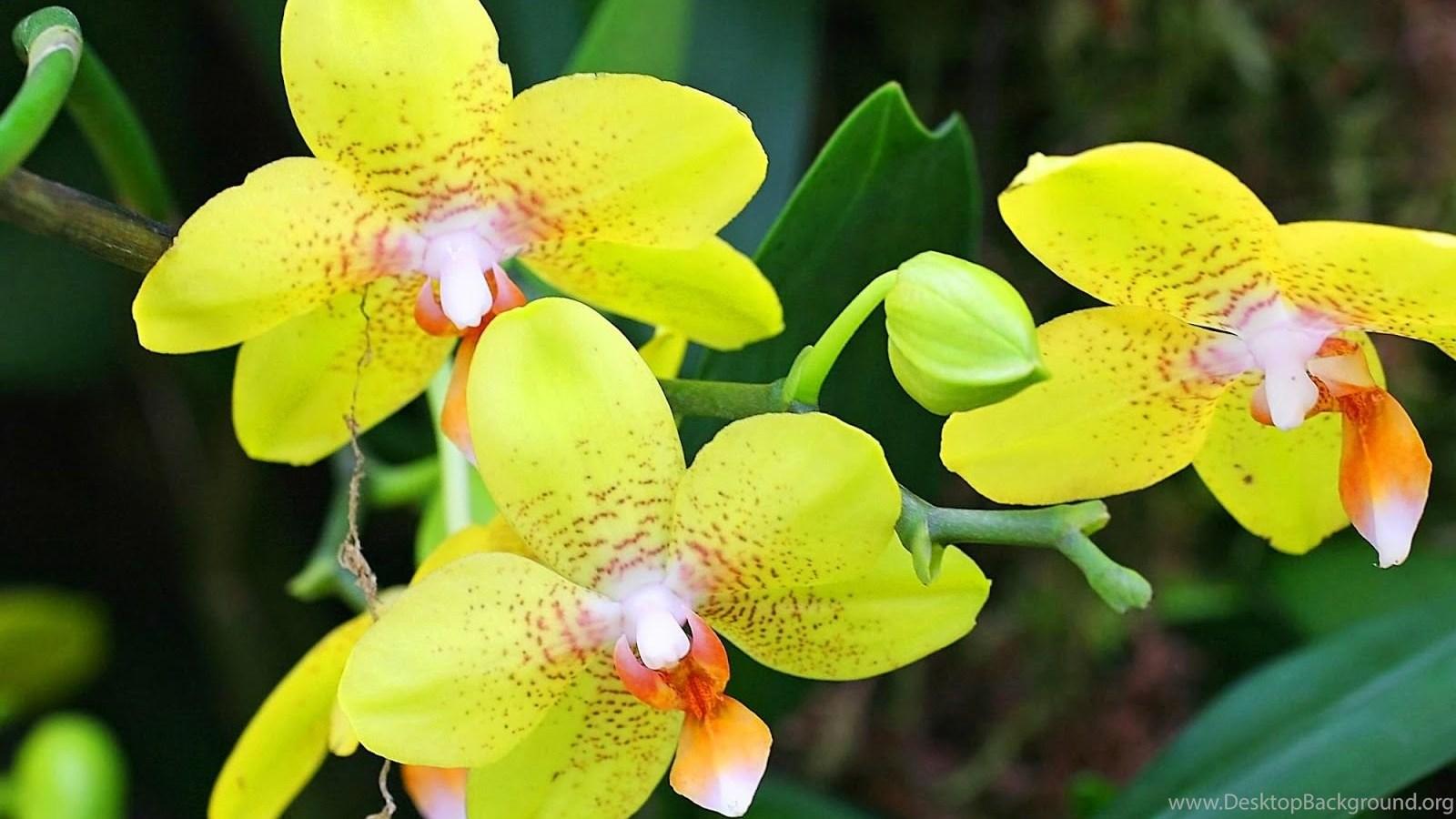 attractive green orchid flowers wallpapers beautiful desktop