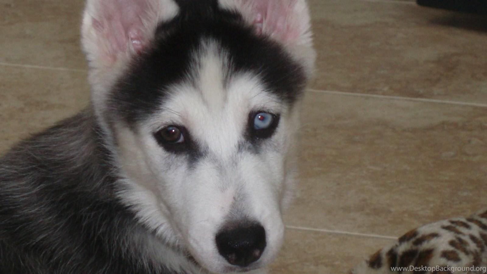 siberian husky puppy hd wallpaper get it now desktop background