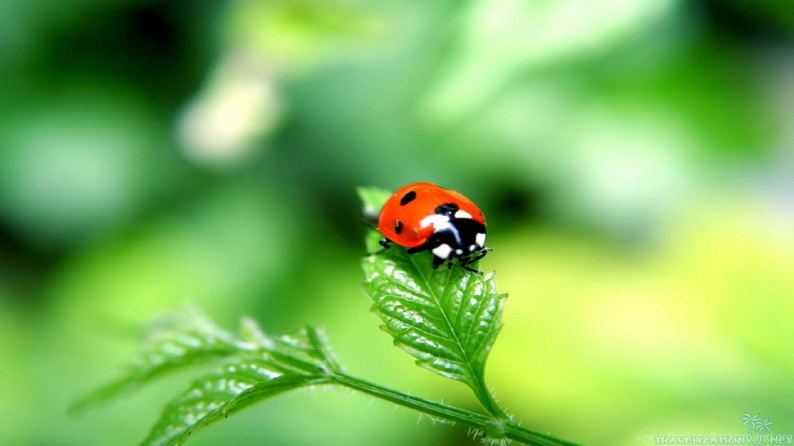 Ladybug Wallpapers Desktop Background