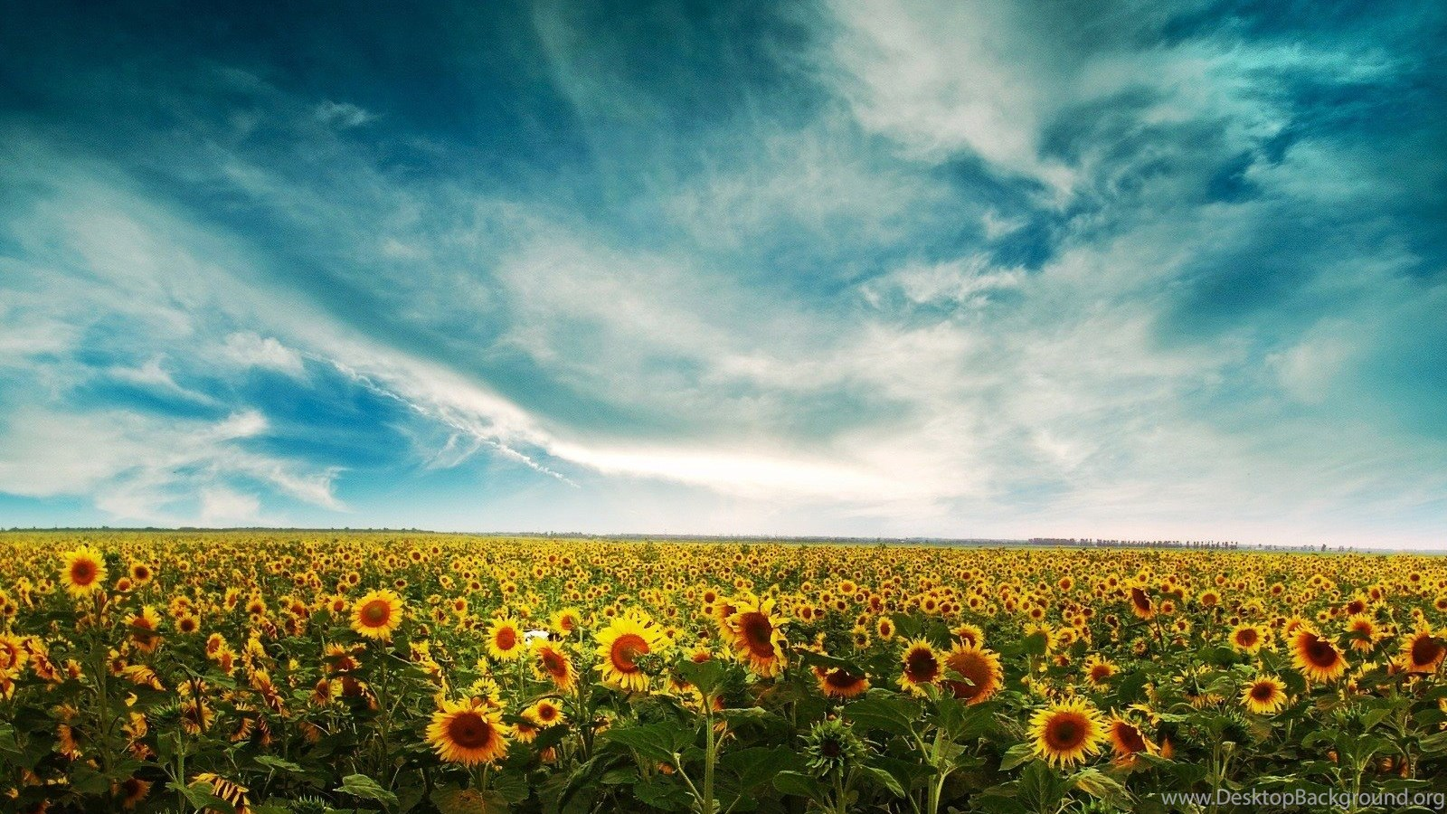 Sunflower Field Desktop Wallpapers Background