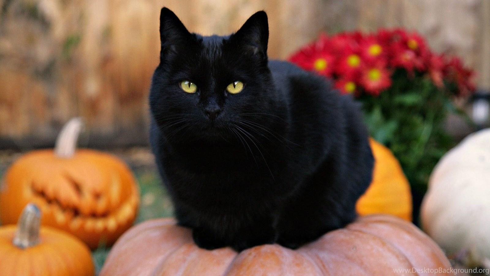 515219 black cat hd desktop backgrounds z355w hd