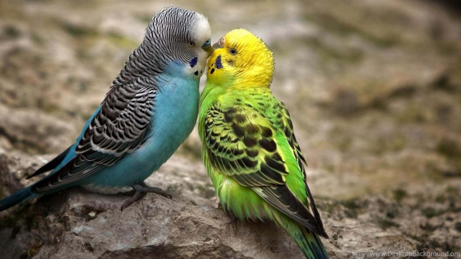 Images Love Birds Hd Wallpapers Lovely Desktop Background
