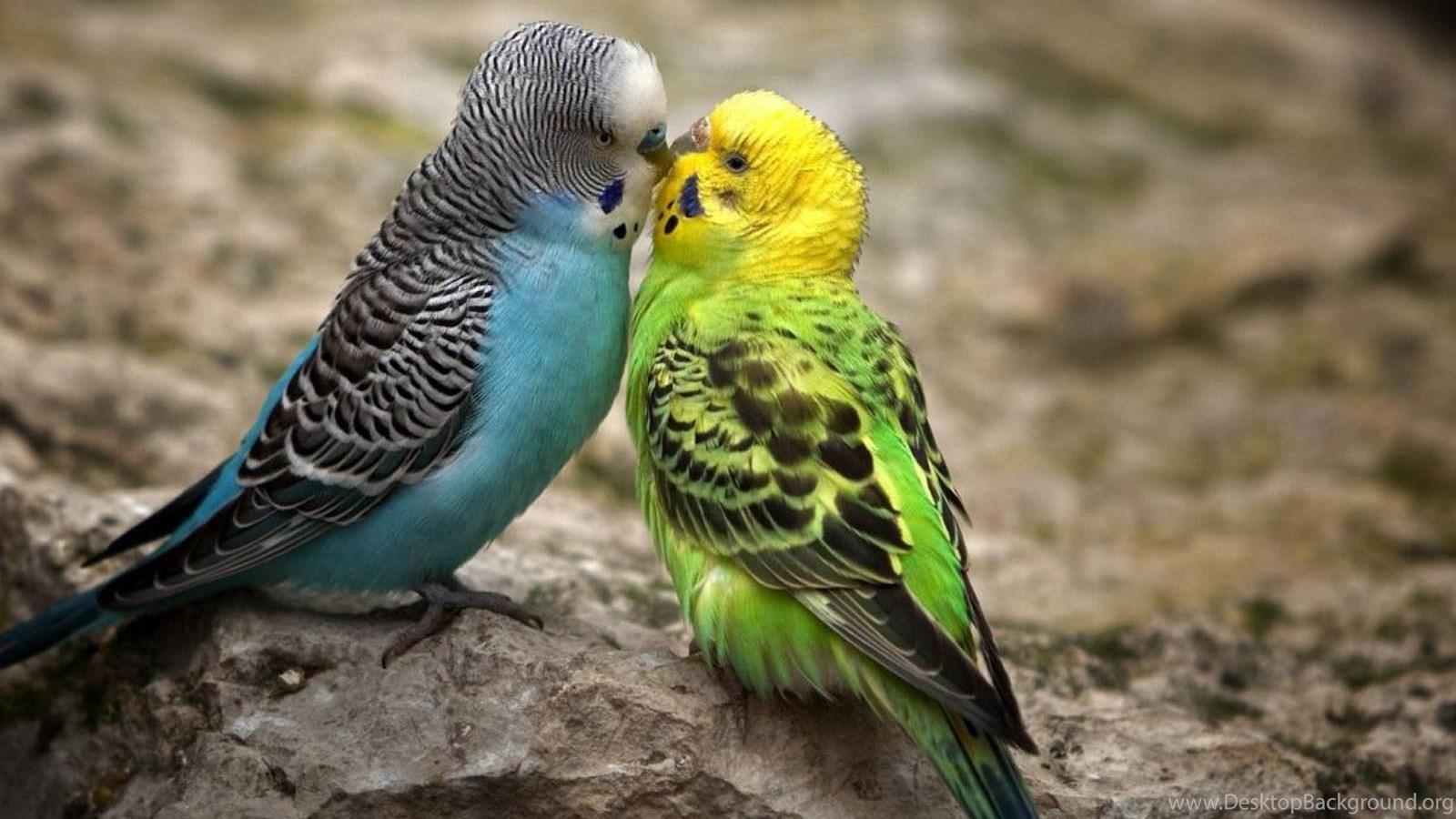 Love Birds Wallpapers Hd Wallpapers Pretty Desktop Background