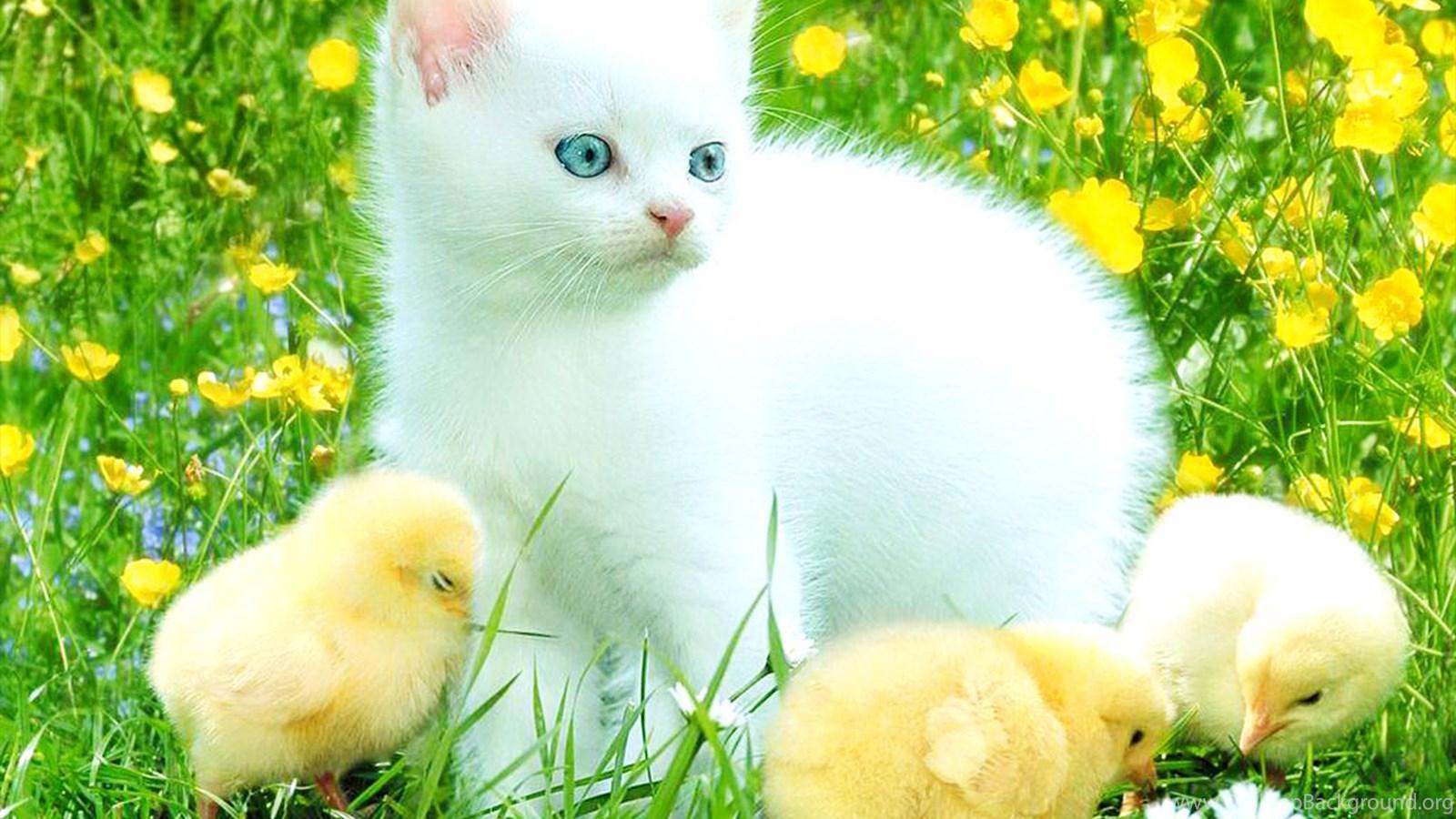 cute white kitten hd wallpapers desktop background