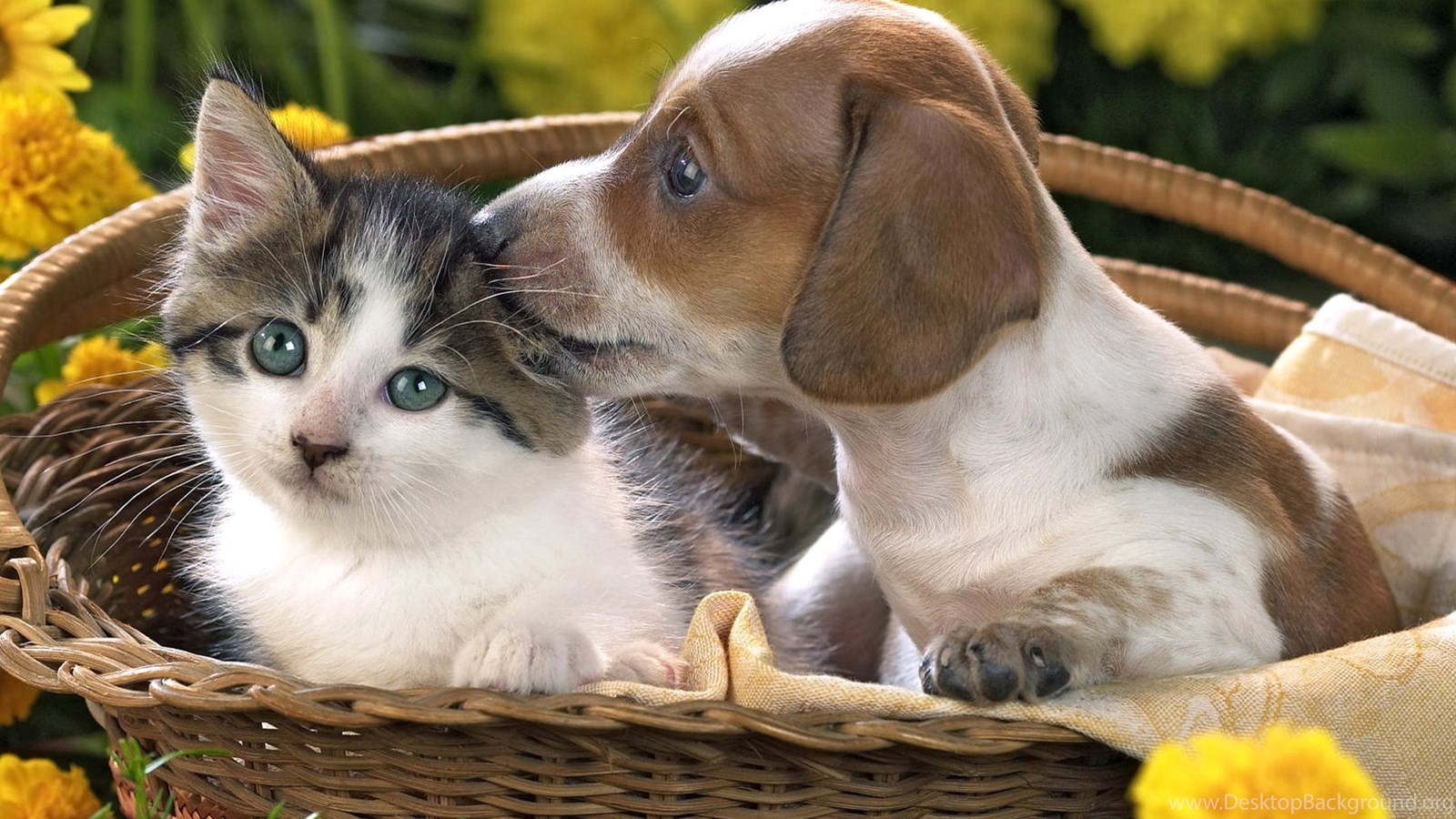 Puppy And Kitten Animal Wallpaper Hd Dog Photos Puppies Pets