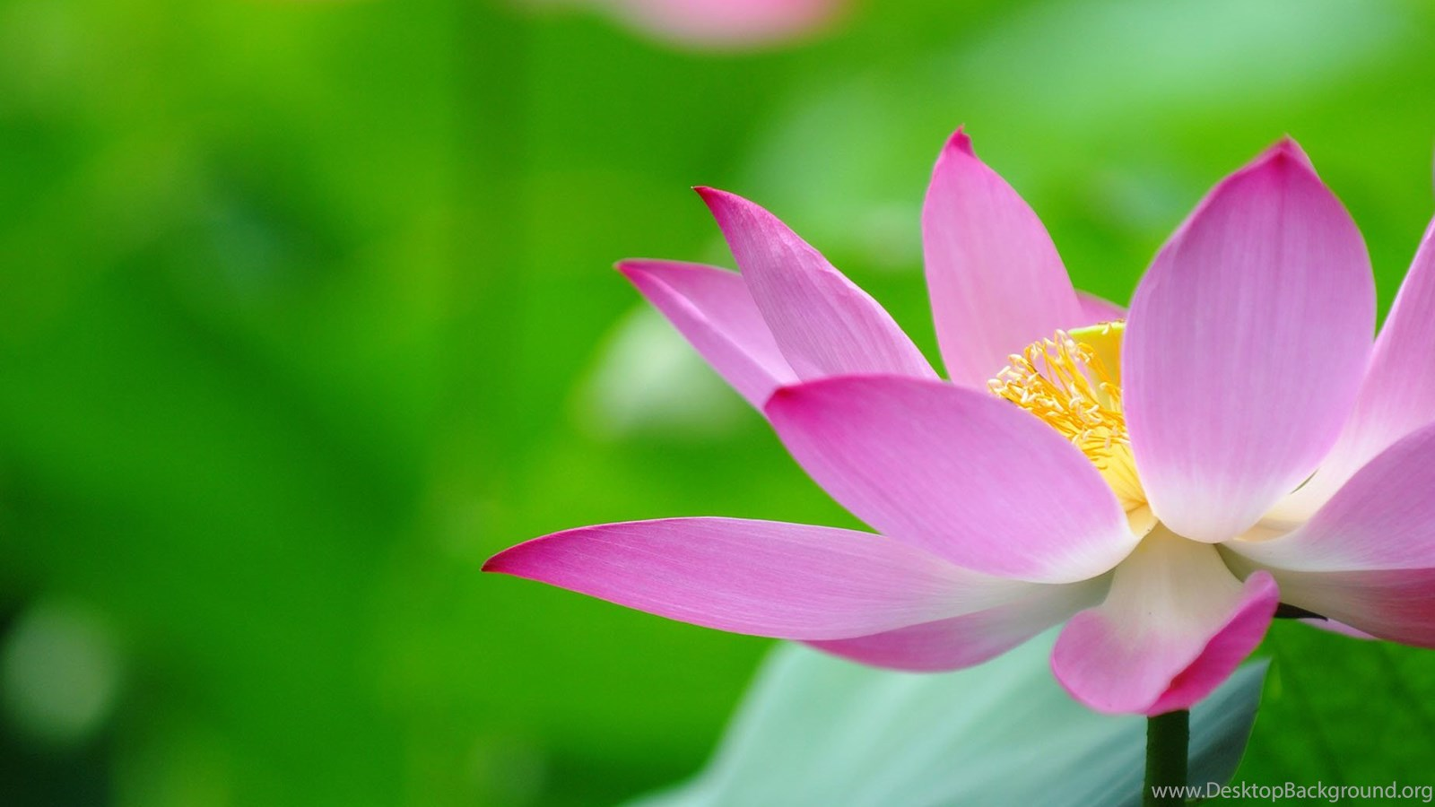 Beautiful Lotus Flowers Wallpapers 438 Lotus Flower Pictures