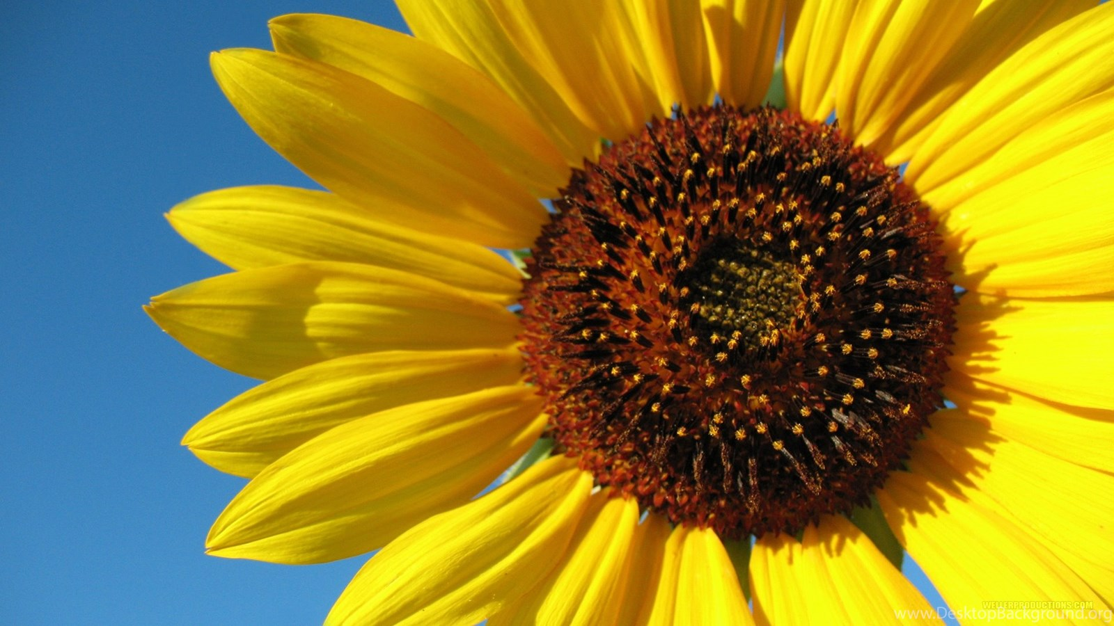 Sunflower Desktop Wallpapers HD Wallpapers POP Desktop