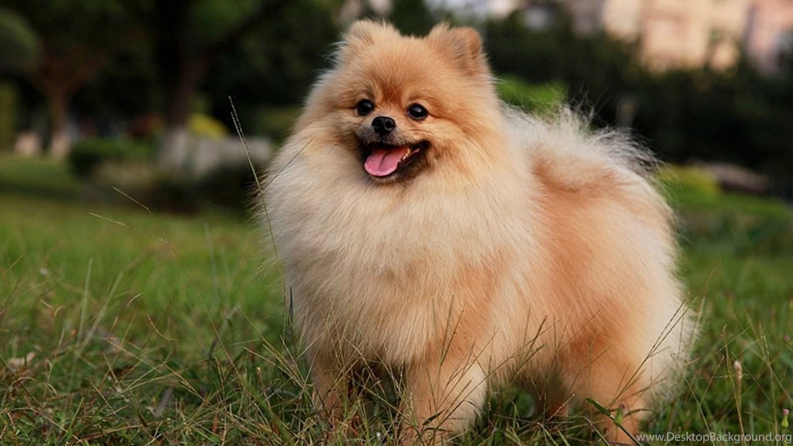 Best Animals Wallpaper Pomeranian Puppies, 495775 ...