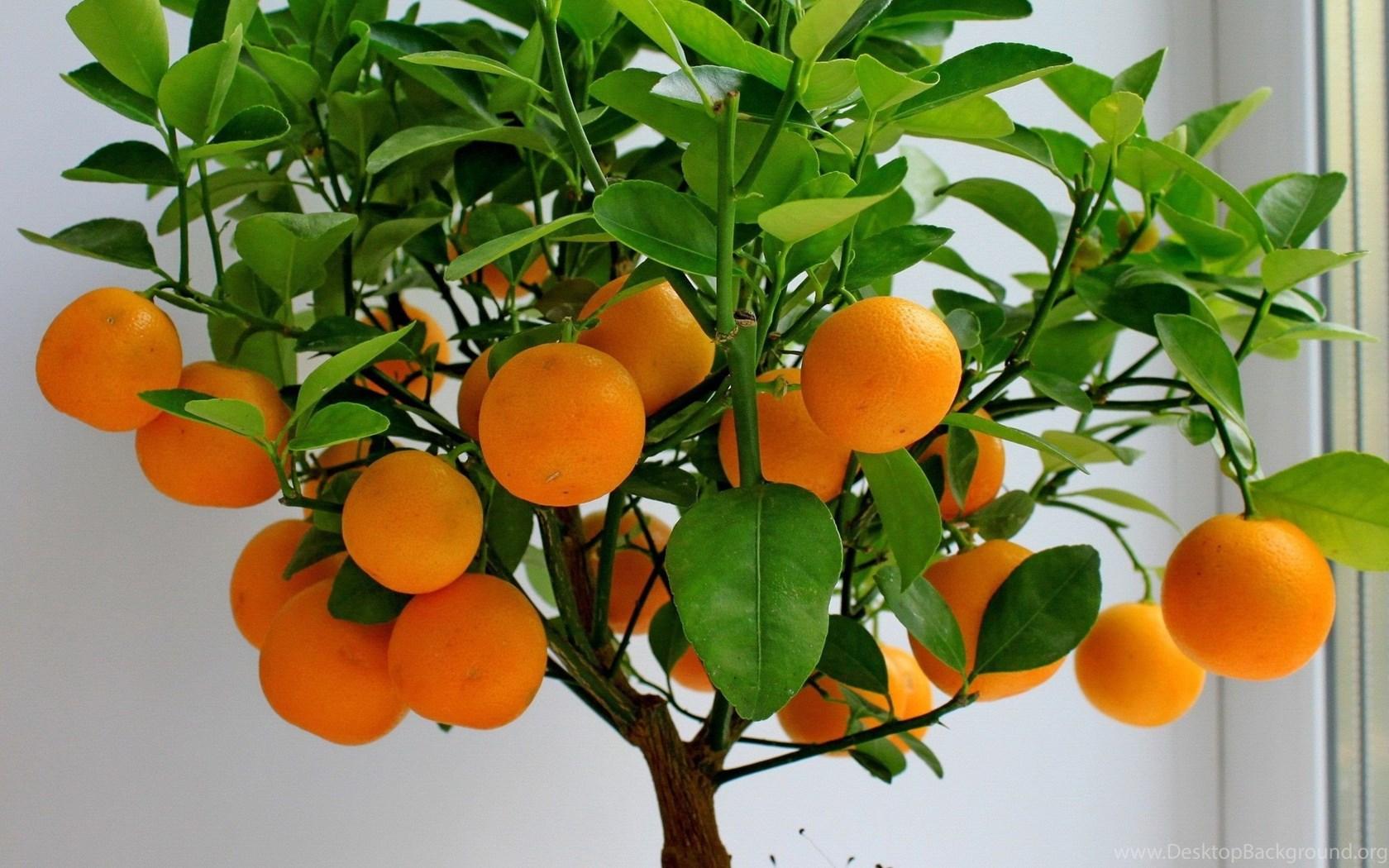 Как выращивать мандарин в домашних условиях из косточки