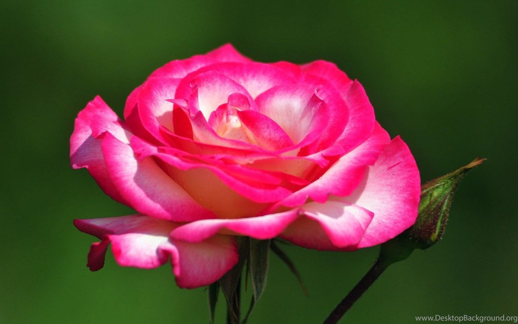 Beautiful Rose Flower Wallpapers Wallpapers Hd Wide Desktop Background
