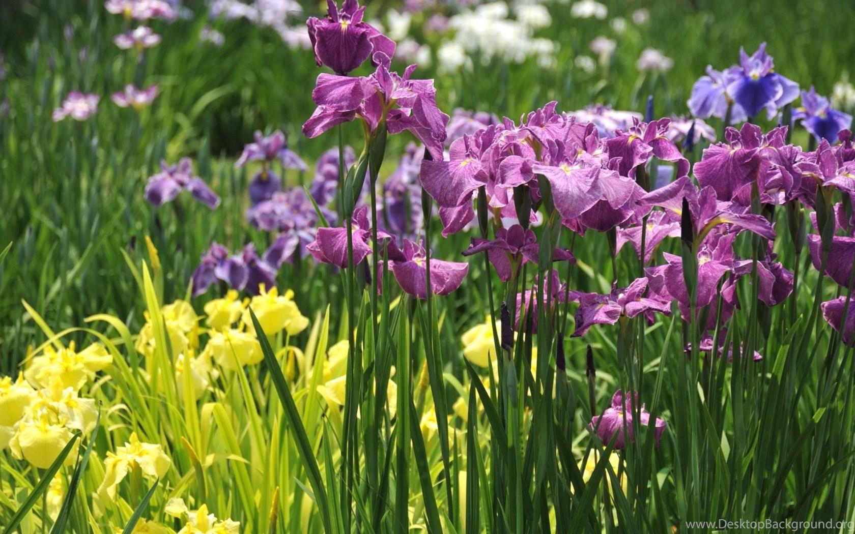 шмель,ирис,цветок,лето  № 529611 бесплатно