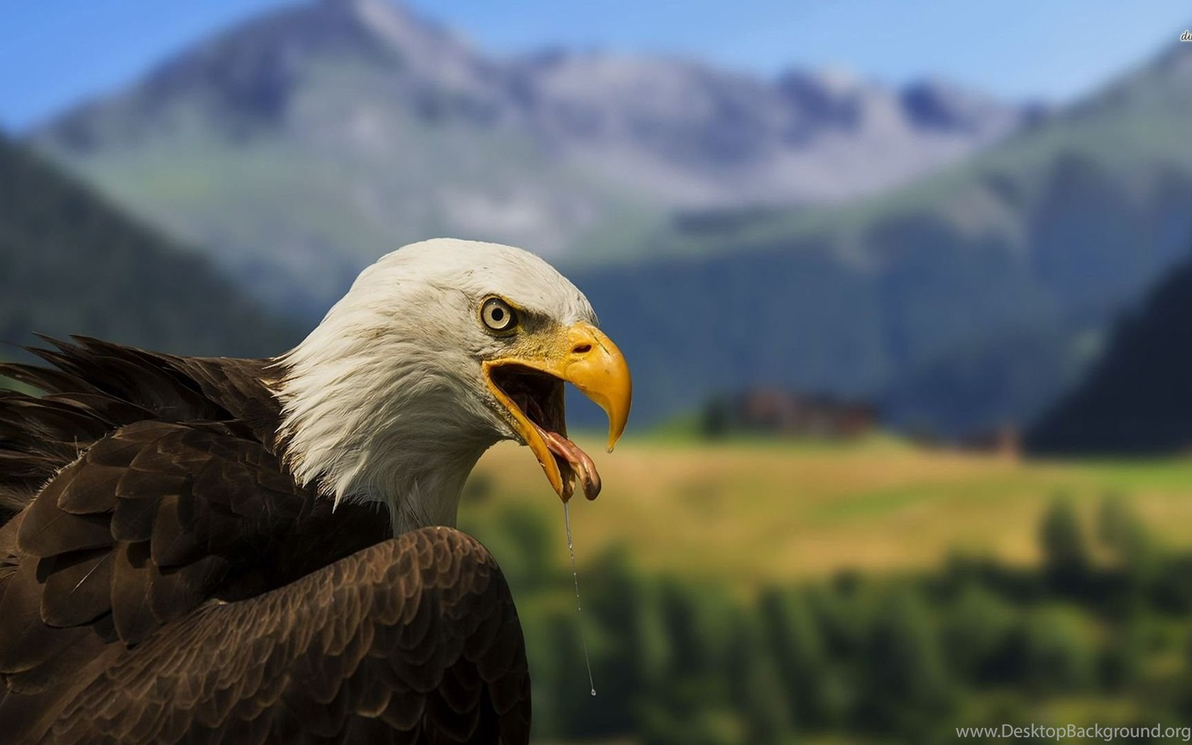 High Definition Eagle Wallpapers For Free Download Desktop