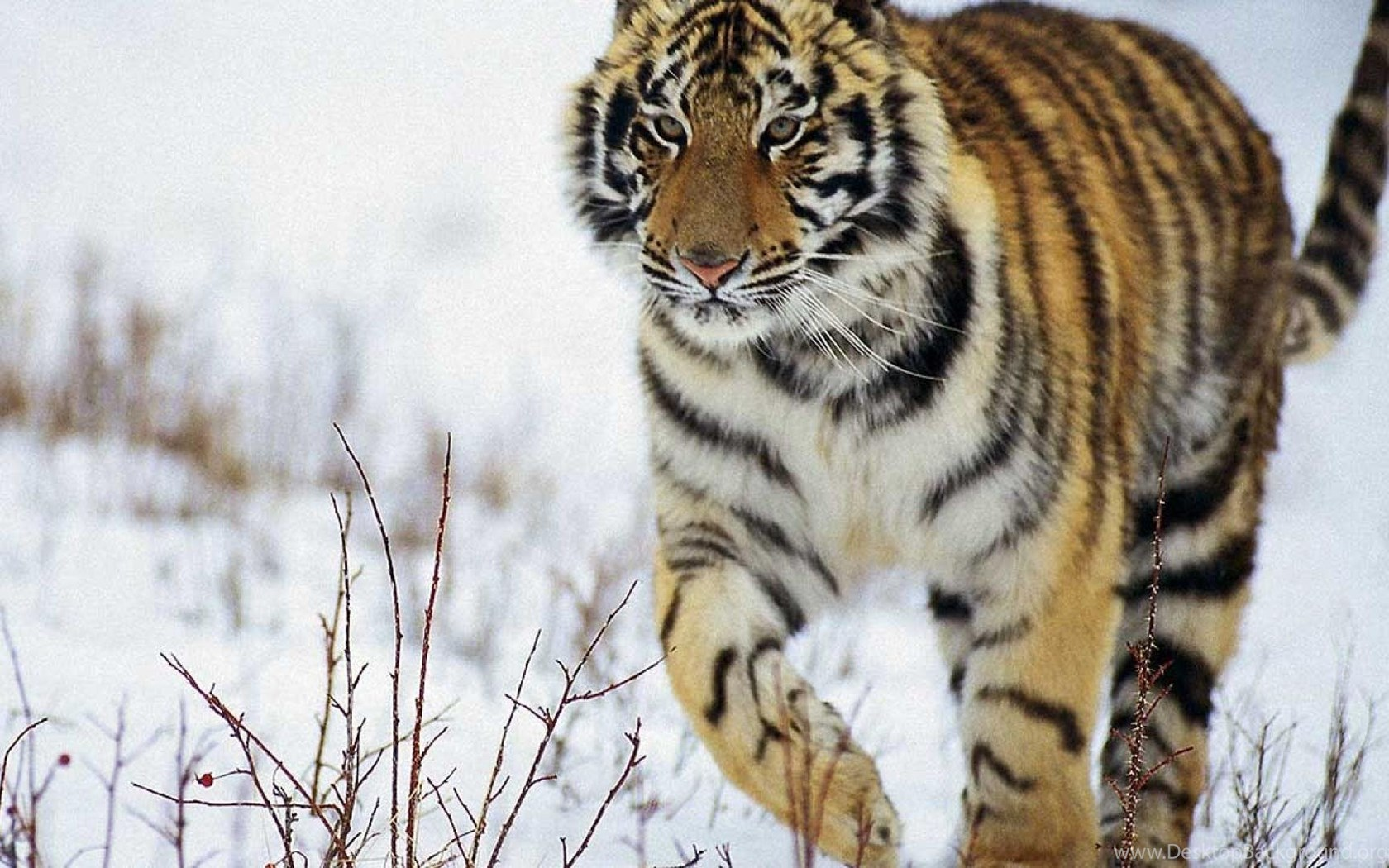 Snow Animals Tigers Animal Tiger HD Wallpapers Wallpapers