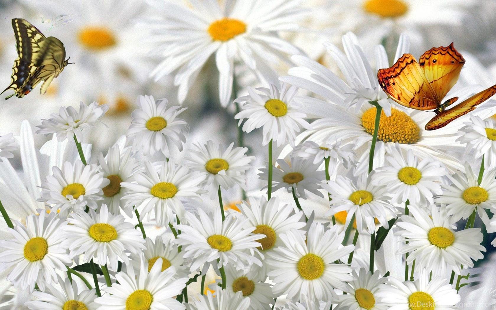 Для бабушки, картинки с ромашками и бабочками