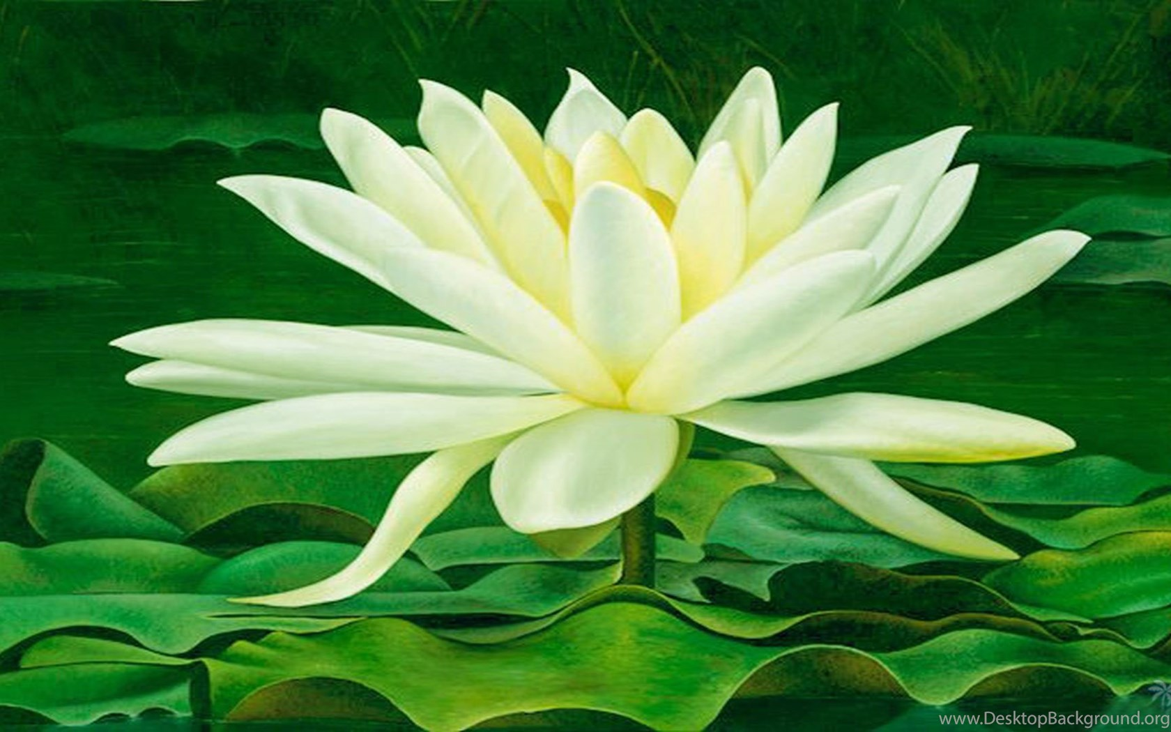 Magical Beauty Of Lotus Flower Wallpapers Free Wall Paper Desktop