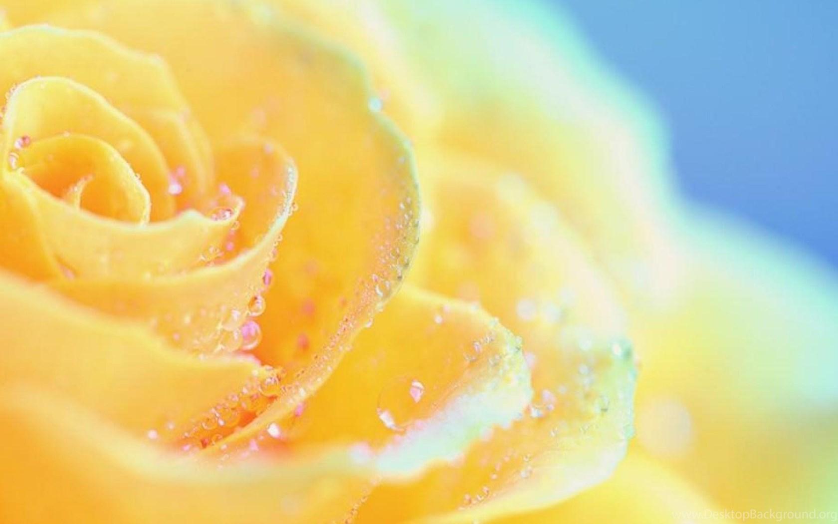 BEAUTIFUL YELLOW ROSE WALLPAPER ( Desktop Background