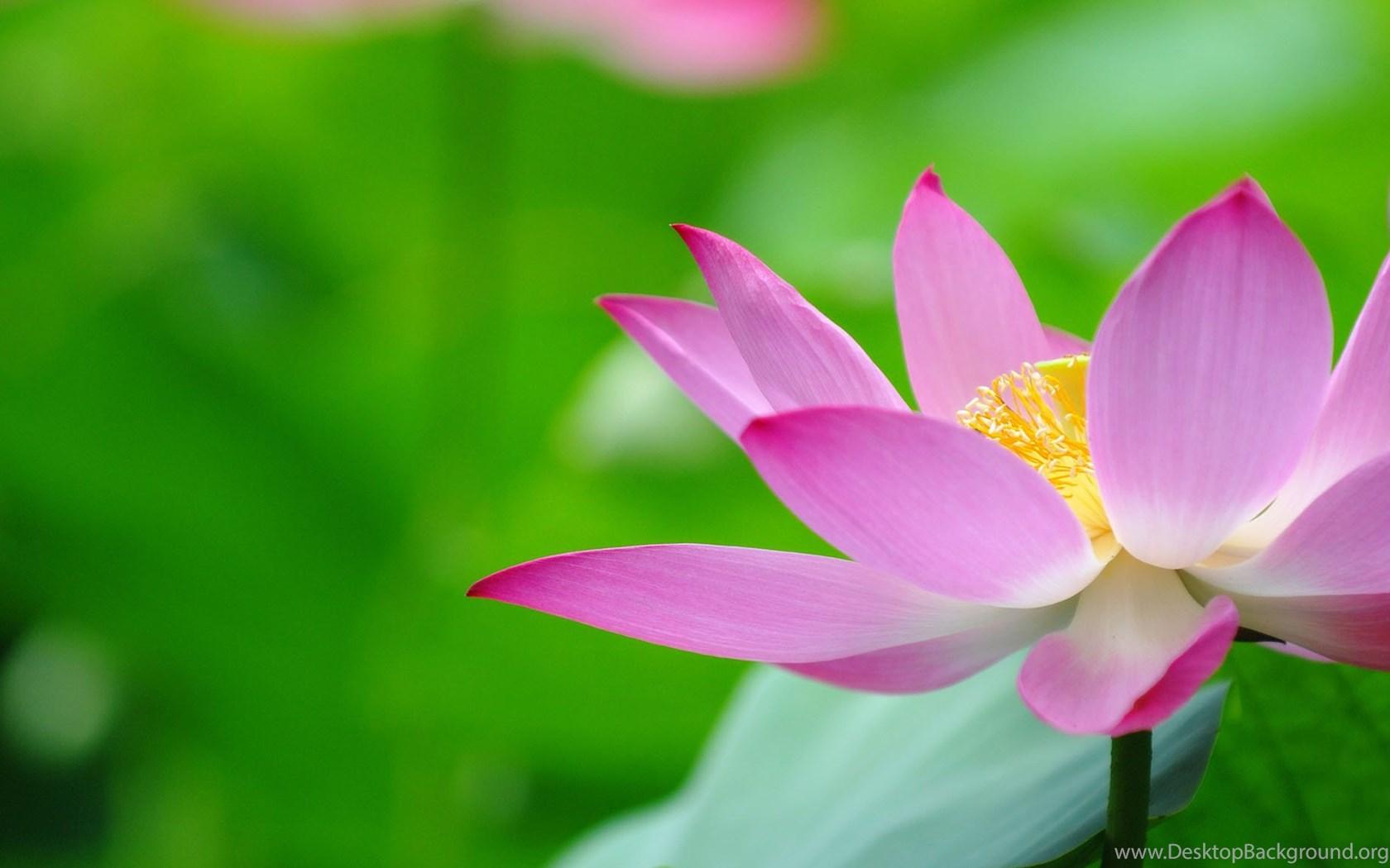 Beautiful lotus flowers wallpapers 438 lotus flower pictures widescreen izmirmasajfo