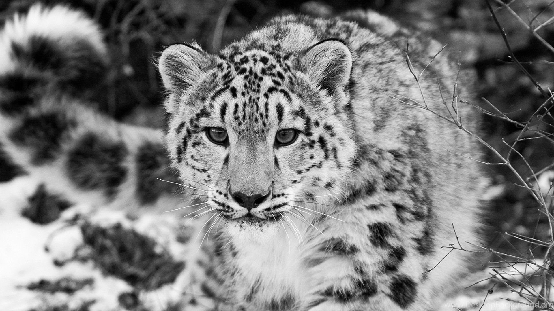 download wallpapers 2560x1080 snow leopard, snow, hunting