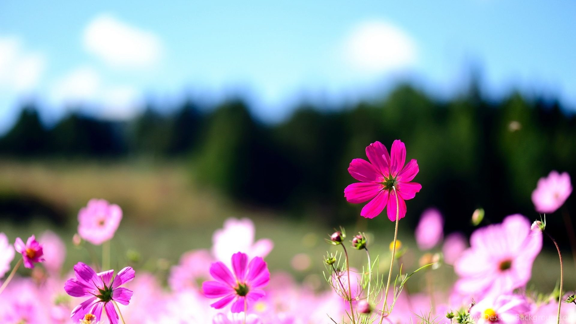 Pink Flower Desktop Wallpapers Wallpaper Cave