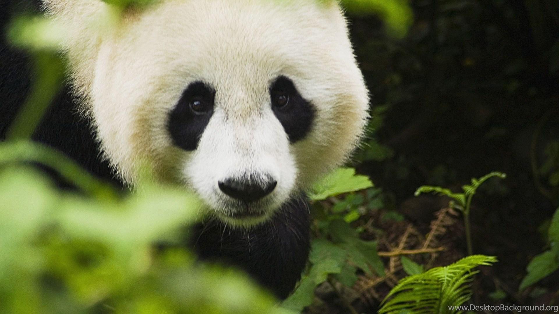 Panda Desktop HD Wallpapers 12389 Site