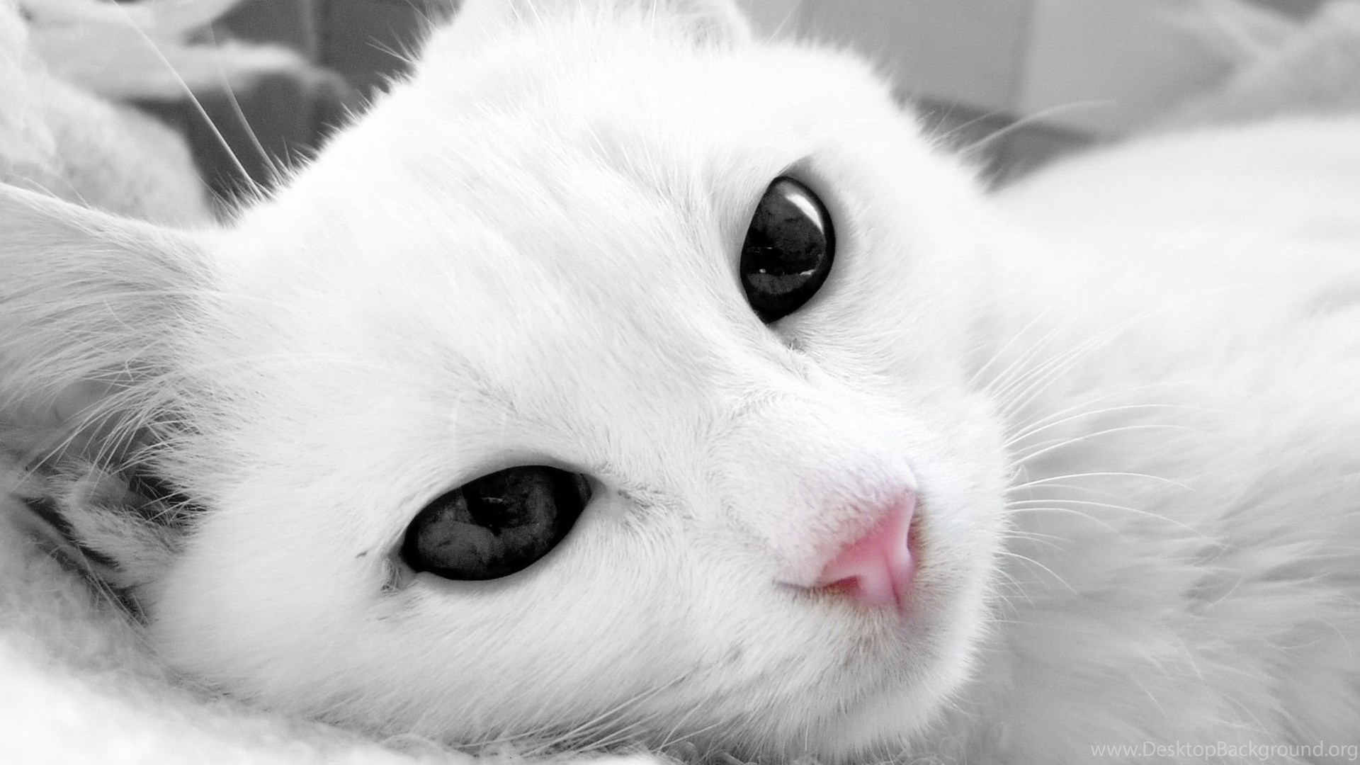 White Cat Hd Wallpapers Free Download Desktop Background