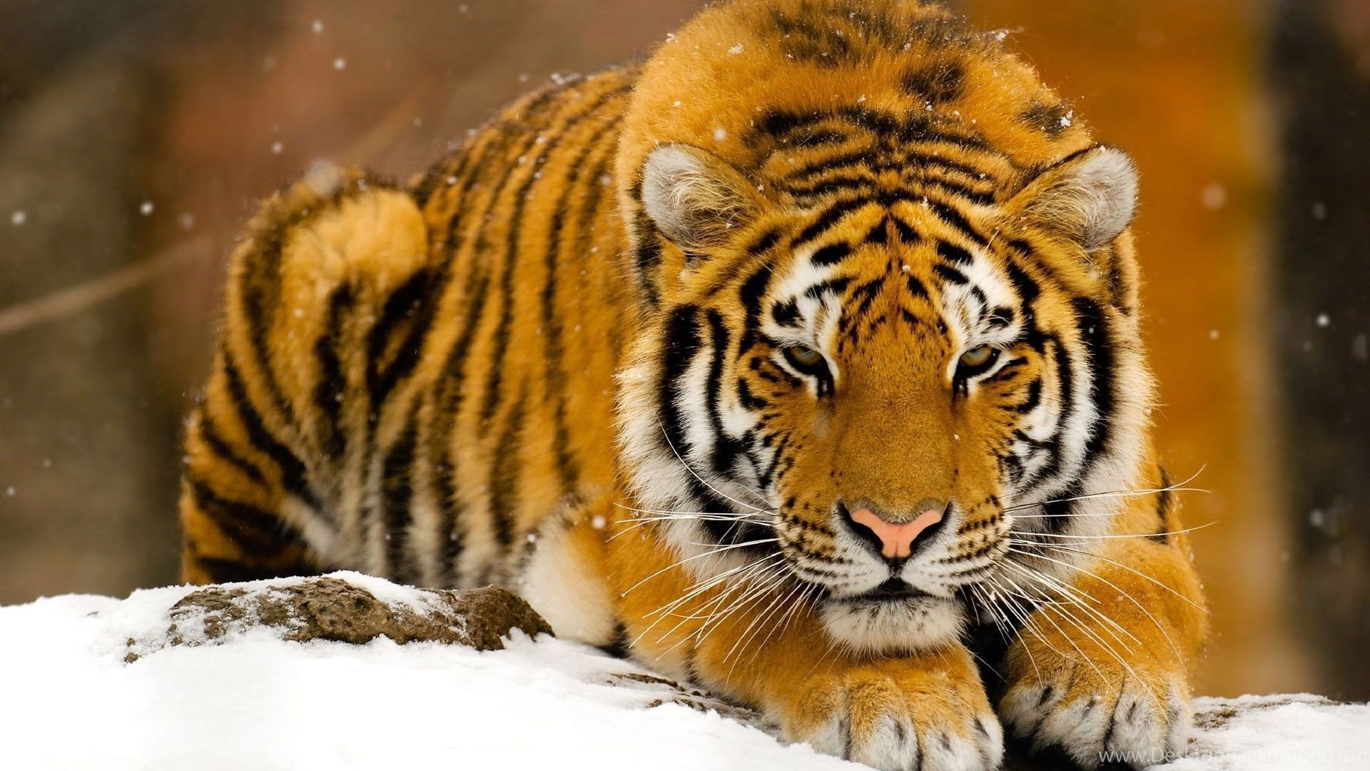 Siberian Tiger Cool Style High Definition Wallpapers Of Animals ...